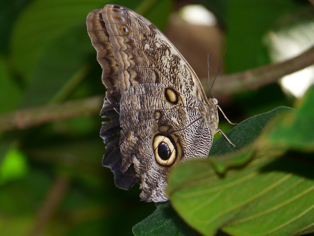 Owl Butterfly Brassolini Butterfly by HQPhotos