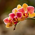 Orchid Glow by Gail Beerman