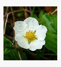 Strawberry Flower Photographic Print