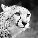 Cheetah by Samuel Fletcher