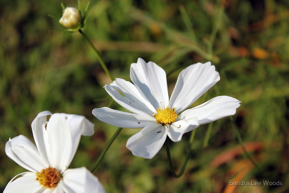 A Cosmos I think by Sandra Lee Woods