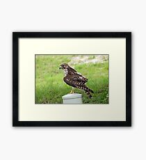 Neighborhood Hawk Framed Print