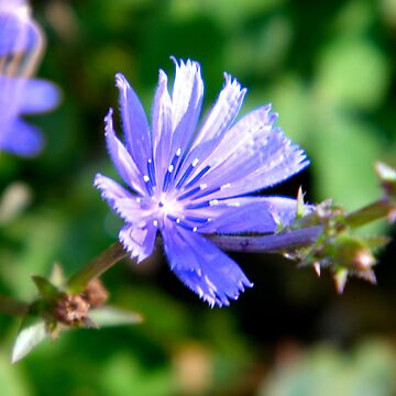 Chicory - Blue Sailor flower by PASpencer