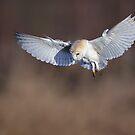 Barn Owl (Tyto alba) by Richard Nicoll