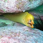 MORAY EEL by springs