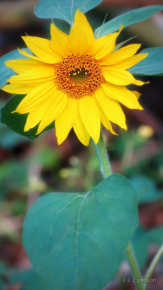 Sunflower In The Wilderness by J J  Everson