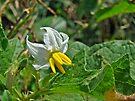 Horsenettle - Solanum carolinense by MotherNature