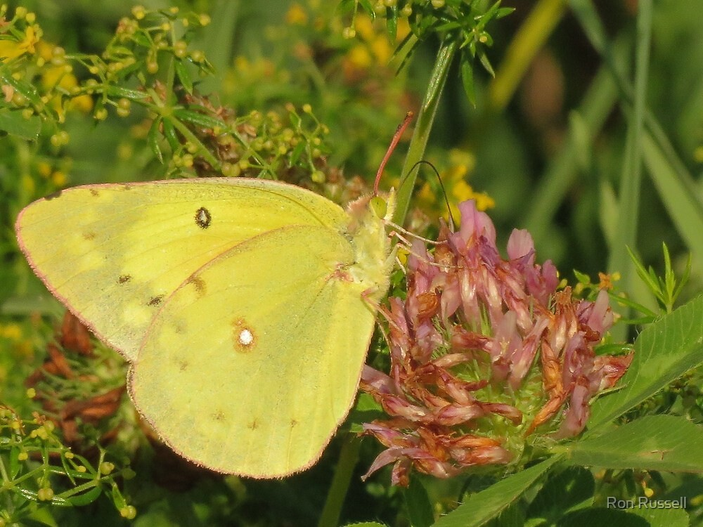 Yellow Sulpher lapping up some red Clover Nectar by Ron Russell
