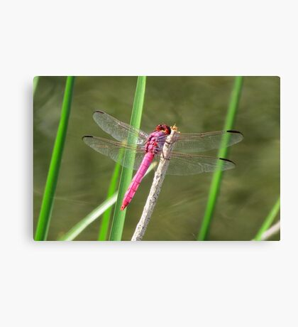 Dragonfly ~ Roseate Skimmer (Male) Canvas Print