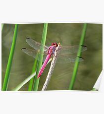Dragonfly ~ Roseate Skimmer (Male) Poster