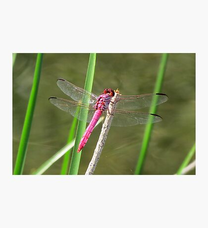 Dragonfly ~ Roseate Skimmer (Male) Photographic Print