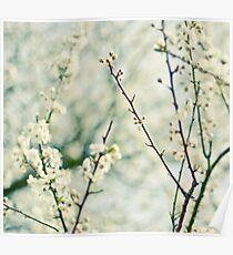 Prunus Spinosa Poster