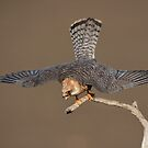 Red-footed falcon - female by wildlifephoto