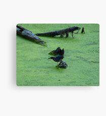 Green Heron Hunting Through Duck Grass Canvas Print
