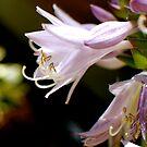 Hosta Bloom by bunnij