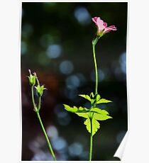 Wild Geraniums ~ Geranium Sanguineum Poster