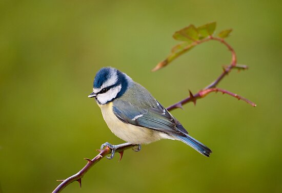 Blue tit, perched on rose branch by M S Photography/Art