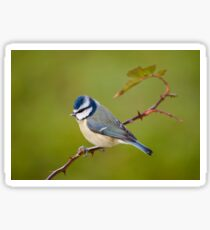 Blue tit, perched on rose branch Sticker