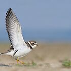 Semipalmated Plover Wingstretch. by Daniel Cadieux