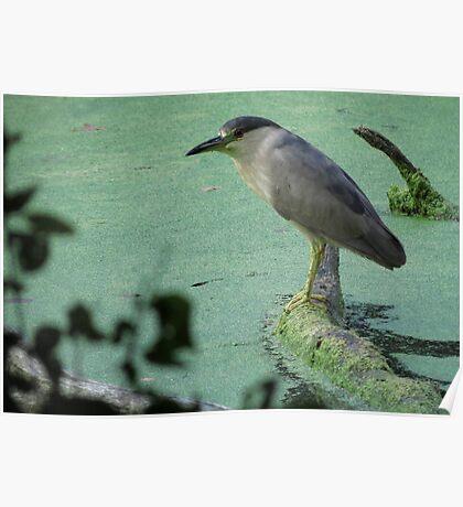 Black Crowned Night Heron Poster