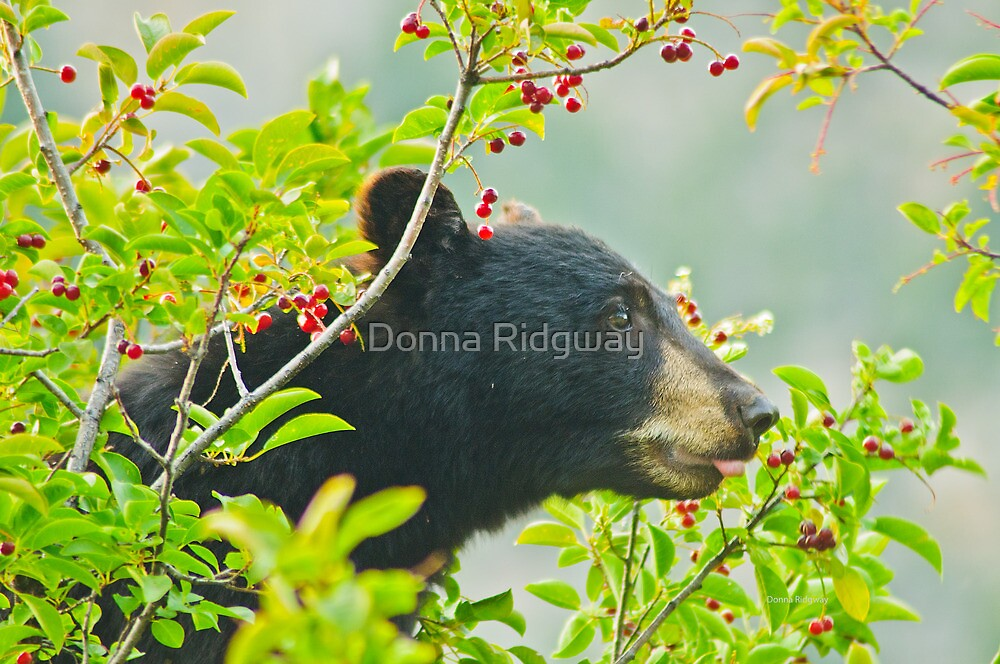 I Want That One!  Bear Eating Chokecherries by Donna Ridgway