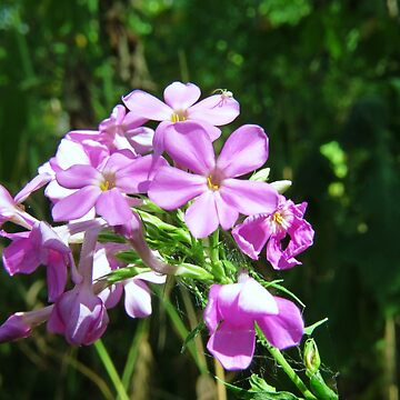 Wild Phlox and Resident by RonRussell