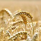 Golden Wheat by KarenM