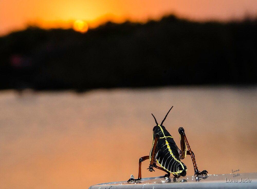 Hopper at Sunset by Luna Jade