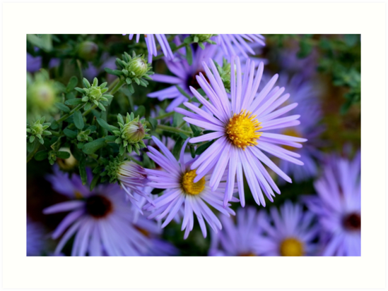 Studio Dalio - Hardy Blue Aster Flowers Art Print