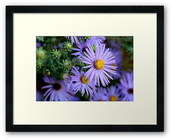 Studio Dalio - Hardy Blue Aster Flowers Framed Art Print
