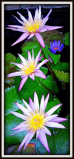 Water Lilies by MEV Photographs