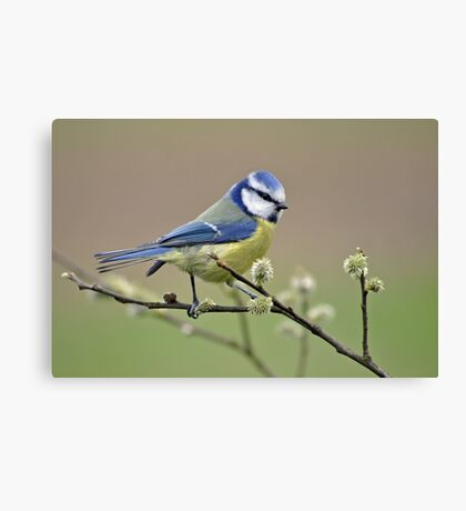 Blue tit on Pussy Willow Canvas Print