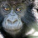 Amahoro: Baby Mountain Gorilla by David McGilchrist