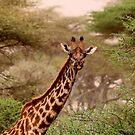 Giraffe in the Serengeti by David McGilchrist