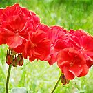 Geranium by vigor