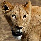 Lion portrait by David McGilchrist