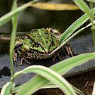 Cute frog by ulryka