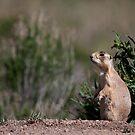 Prairie Watchdog by Owed To Nature
