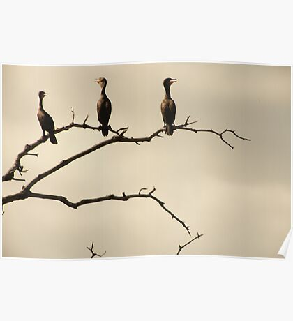 The Snappy Conversation of Cormorants Poster