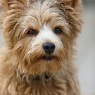 Up Close with a Norwich Terrier  by susan stone