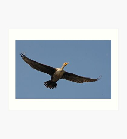 Flying Cormorant Art Print