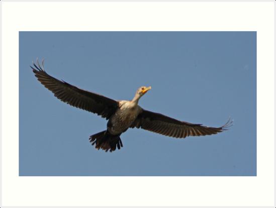 Flying Cormorant by Thomas Murphy