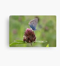 Common Blue on Red Clover - Polyommatus icarus Canvas Print