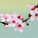 Early Spring Blossoms by Alison Hill