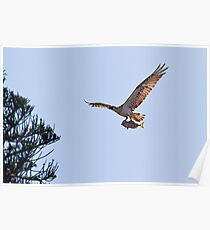 Osprey with Fish 1 Poster