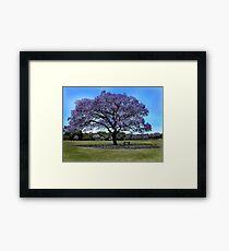 100 Year Old Jacaranda Tree Framed Print