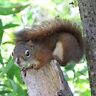 Red squirrel by hummingbirds