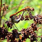 Two Dragonflies by LydiaWoods