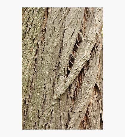 Cedar Bark Photographic Print