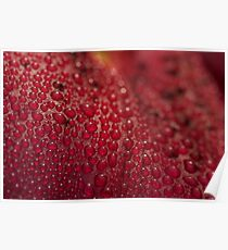 Droplets on the Lilly Petal  Poster